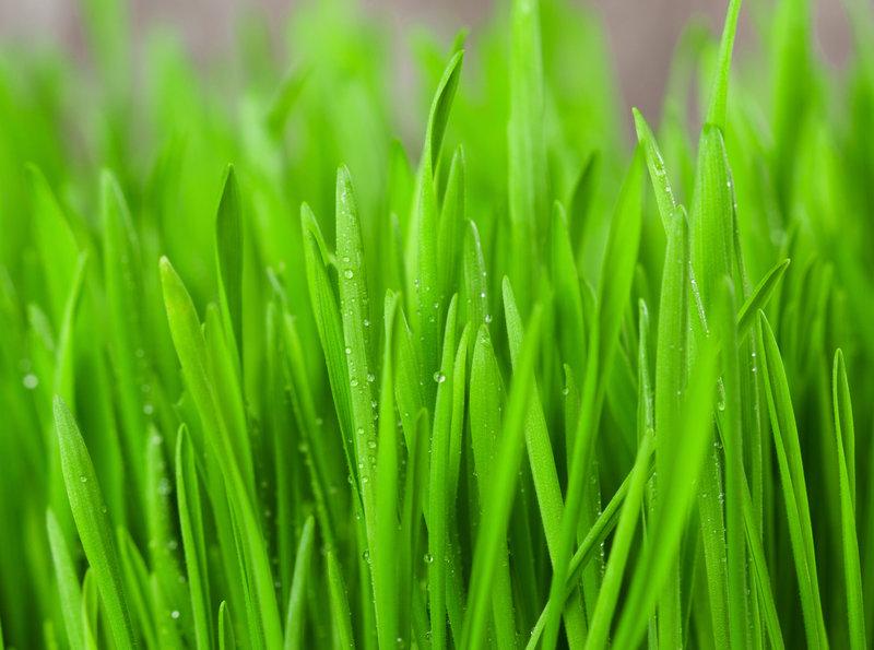 mladá pšenica ako afrodiziakum